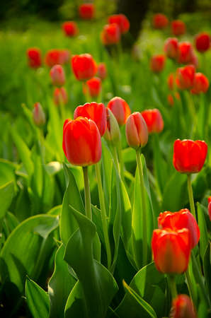 red tulips on a sunny day