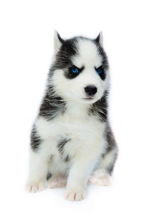 Cute little siberian husky puppy Stock Photo