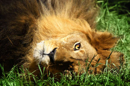 feirce: Close up of an African Lion (Panthera leo) laying down in green grass