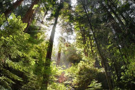 redwood: Old Redwood Forest with sun rays Stock Photo