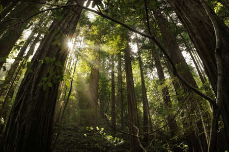 Magical landscape photo of the redwood forest with rays of light coming through the trees photo