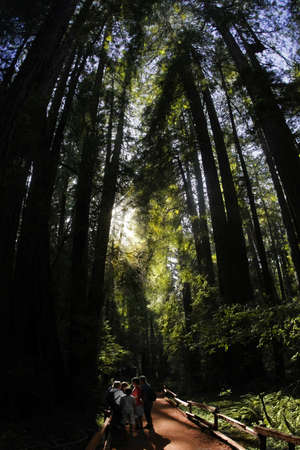 Group of silhouted people in old redwood forest photo