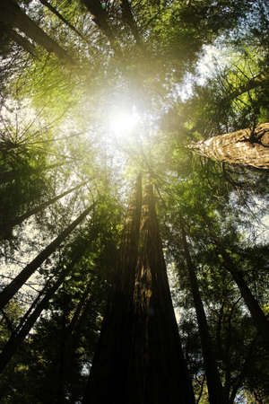 bole: Perspecitve from below looking up into anceint redwood trees with light rays coming from above Stock Photo