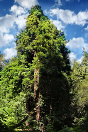 sequoia: Vertical landscape photo of an old Sequoia tree against bright happy blue sky and clouds Stock Photo