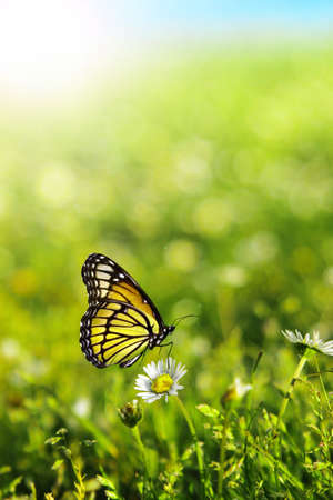 Beautiful butterfly perched on white daisy with green grass nature background  photo