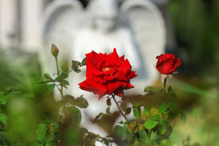 A beautiful red rose in front of a blurred angel statue Stock Photo