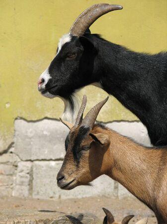 Un par de cabras, vista de perfil.