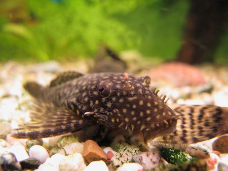 Young Ancistrus (Bristlenose Catfish) male with bristles that is just starting to grow photo