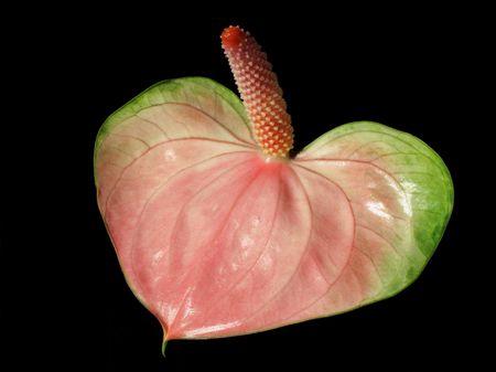 Flamingo Lily (Anthurium andreanum) on black background photo