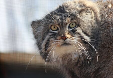 pallas: Close up of Felis manul, Otocolobus manul or Pallas Cat Stock Photo