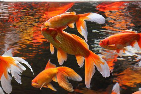 japanese koi carp: Gold Fish in aquarium. Popular pet and Feng Shui symbol of wealth and prosperity.