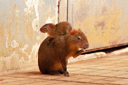 agouti: Agouti female with her baby Stock Photo