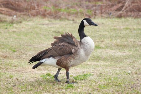 Canada Goose (Branta canadensis) in Estonia Stock Photo - 6892081