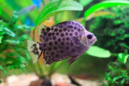 Fish in aquarium. Scatophagus argus. Stock Photo - 8343778