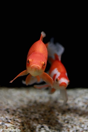 Gold Fish in aquarium  Popular pet and Feng Shui symbol of wealth and prosperity  photo