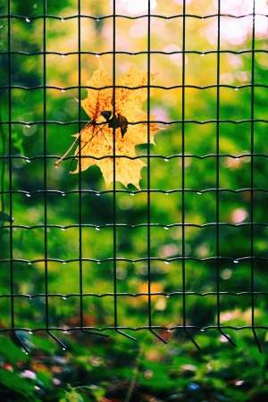 Yellow maple leaf stuck in a mesh fence Stock Photo - 15796454