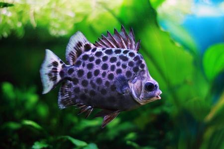 dorsal: Argus Scatophagus en acuario con aleta dorsal elevada