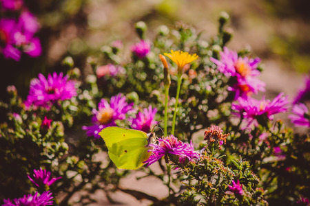 rhamni: Butterfly - Gonepteryx rhamni (known as the Common Brimstone) on Asters