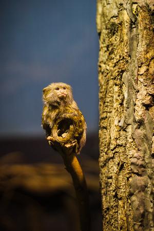 pygmy: The pygmy marmoset (Cebuella pygmaea)