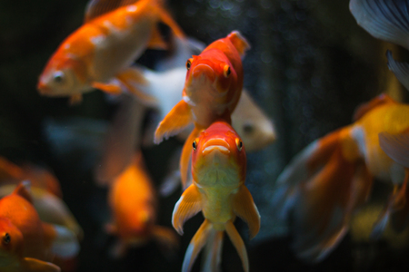 Gold Fish in aquarium. Popular pet and Feng Shui symbol of wealth and prosperity photo