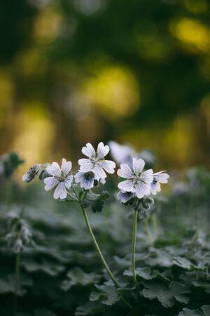 palmate: Geranium renardii on the flowerbed in the summertime