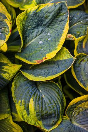 hosta: Wet leaves of Hosta Stock Photo
