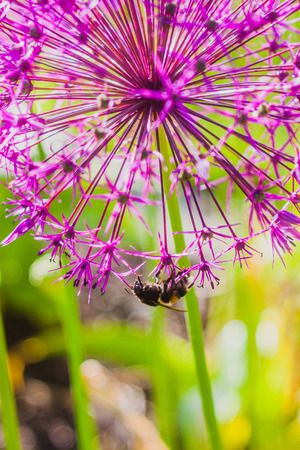 allium flower: Bumblebee collecting nectar on Allium flower Stock Photo