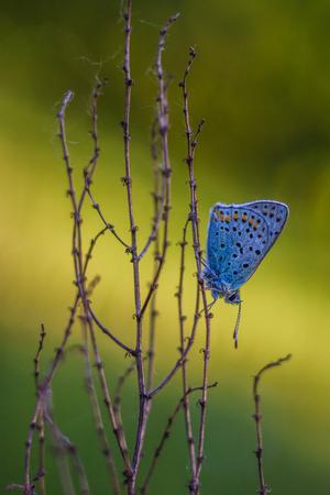 lycaenidae: Butterfly Lycaenidae sitting on a plant