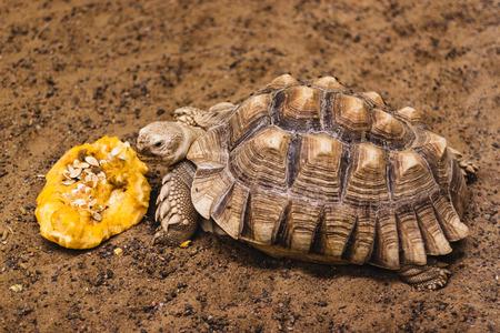 spurred: African Spurred Tortoise eat a pumpkin Stock Photo