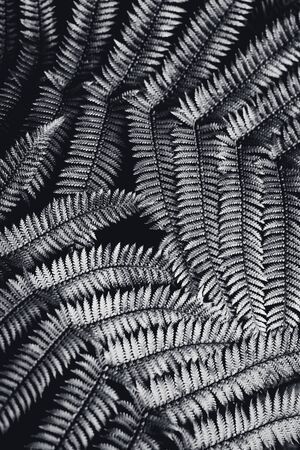 silver fern: Silver fern leaf in black and white over black background.