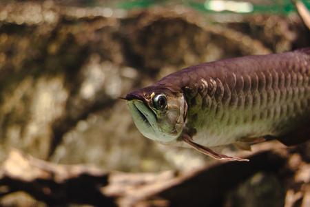 arowana: Golden Arowana, fish of paradise