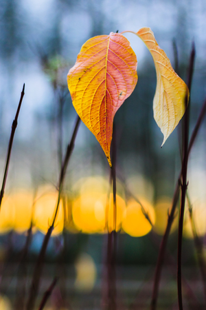 autumn leafs: Autumn leafs and sunset lights Stock Photo