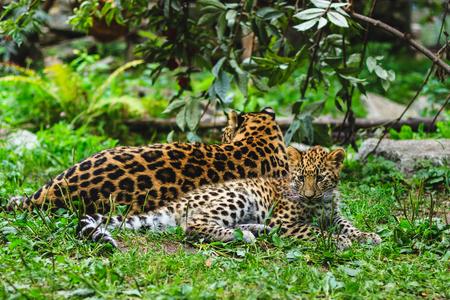amur: Amur leopards