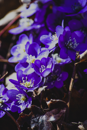 liverwort: First spring flowers - Hepatica nobilis (liverleaf or liverwort)