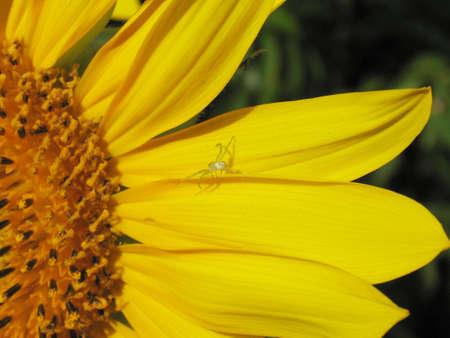 Sunflower with spider Banco de Imagens