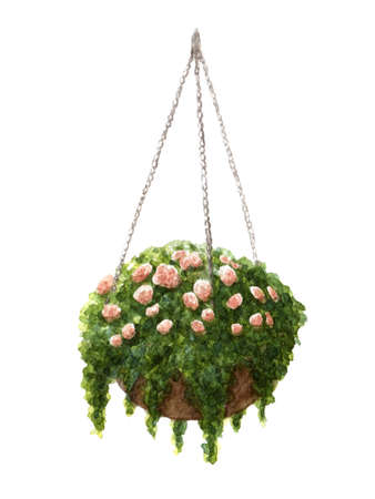 Hand painted watercolor roses in the hanging pot illustration isolated on the white background Stock Photo