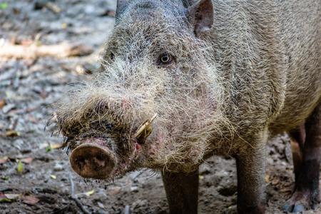 Bornean Bearded Pig Stock Photo