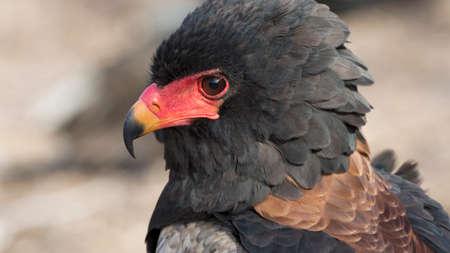 portrait of a bateleur eagle