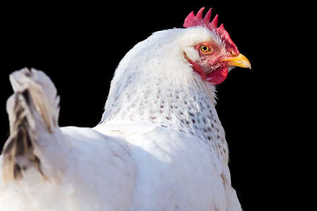 portrait of a chicken isolated on a black background