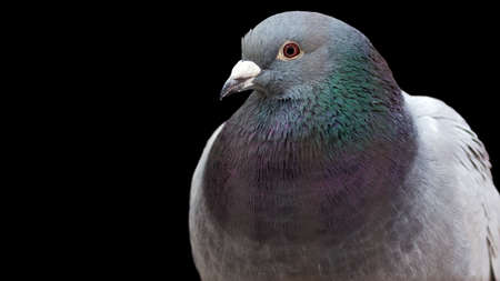 pigeon isolated on a black background with room for text