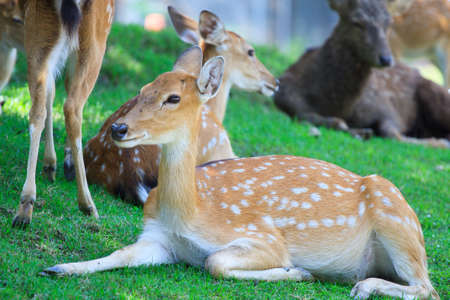 The Sika Deer, Cervus nippon, also known as the Spotted Deer  photo