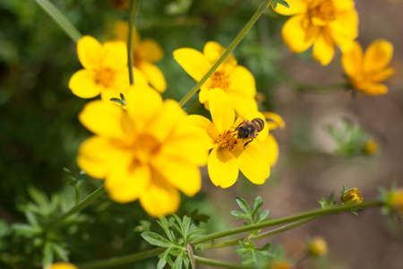 Bee on the flower, bee busy drinking nectar from the flower, sweet flower with bee  close up bee and flower