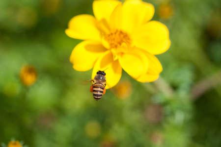goldy: Ape sul fiore, ape beve il nettare dal fiore, fiore dolce con api da vicino ape e fiore