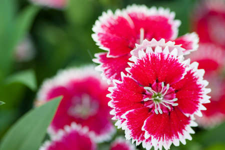 dianthus: Dianthus Chinensis Flowers in the garden, Flowerbed of Dianthus barbatus  Sweet William  Stock Photo