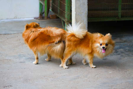 male and female pomeranian dog mating, Mating of pet. photo