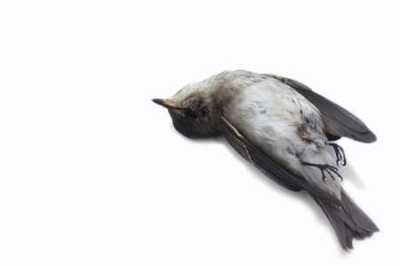 accident dead: dead bird background in nature, isolated dead bird on white. Stock Photo