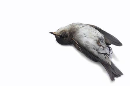 dode bladeren: dode vogel achtergrond in de natuur, geïsoleerd dode vogel op wit.