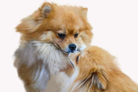 pomeranian dog,close up portrait pomeranian dog small isolation on white background, small dog of a breed with long silky hair, a pointed muzzle, and pricked ears.