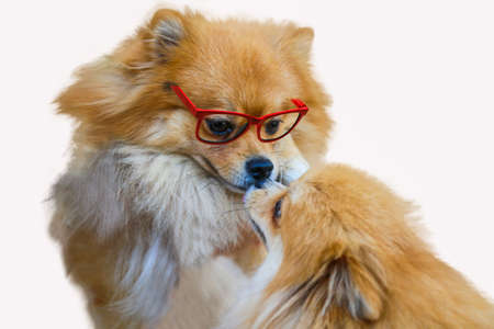 long silky hair: pomeranian dog,close up portrait pomeranian dog small isolation on white background, small dog of a breed with long silky hair, a pointed muzzle, and pricked ears.