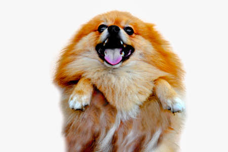silky hair: pomeranian dog,close up portrait pomeranian dog small isolation on white background, small dog of a breed with long silky hair, a pointed muzzle, and pricked ears.
